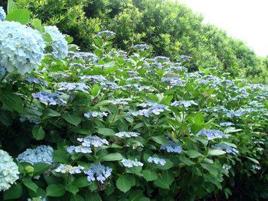 紫陽花の垣根